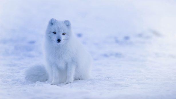 arctic_fox_polar_fox_snow_113350_3840x2160